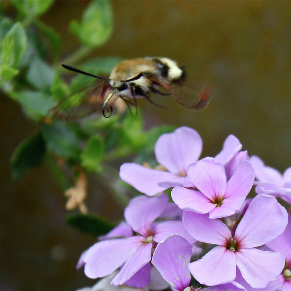 Hemaris Photograph - Snowberry by Tracey Levine