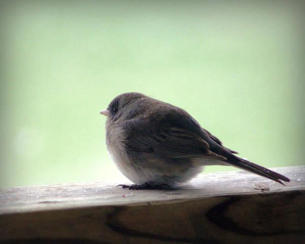 Photograph - Snowbird by Cricket Hackmann