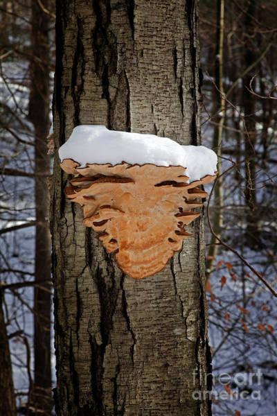 Wall Art - Photograph - Snowcapped Arrowhead Fungus by John Stephens