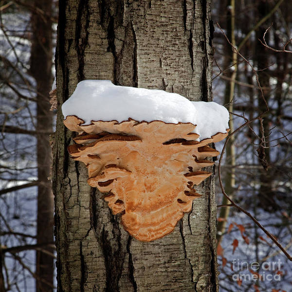 Wall Art - Photograph - Snowcapped Arrowhead Fungus Square by John Stephens