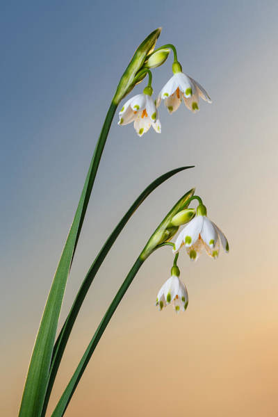 Photograph - Snowdrop Bell Shaped Flowers On Pure Sky by Sergey Taran