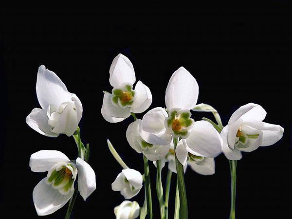 Photograph - Snowdrop Flowers by Dennis Buckman