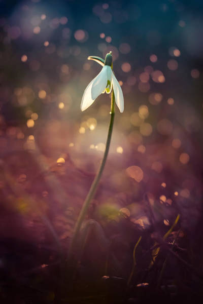 Nature Wall Art - Photograph - Snowdrop In Spring Rain by Jaroslaw Blaminsky