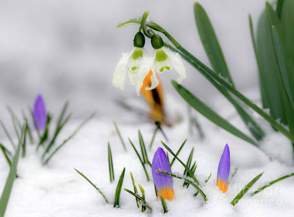 Photograph - Snowdrops And Crocus by Odon Czintos
