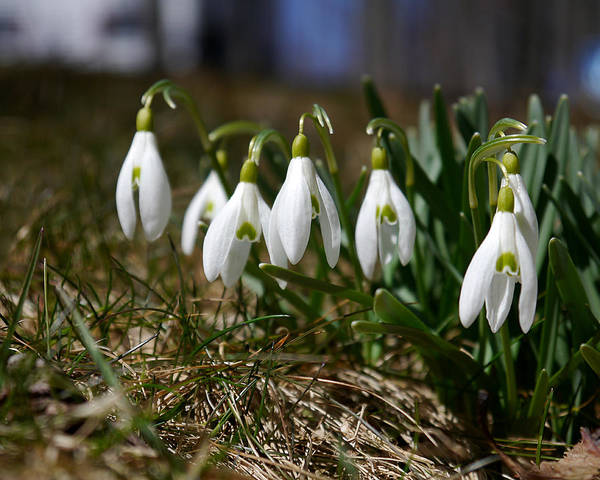 Photograph - Snowdrops I by Richard Reeve