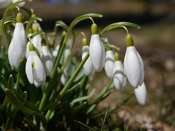 Photograph - Snowdrops II by Richard Reeve