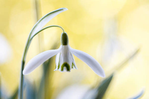 Wall Art - Photograph - Snowdrops by Mandy Disher