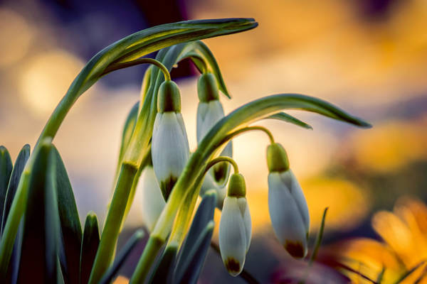 Wall Art - Photograph - Snowdrops by Michel Emery