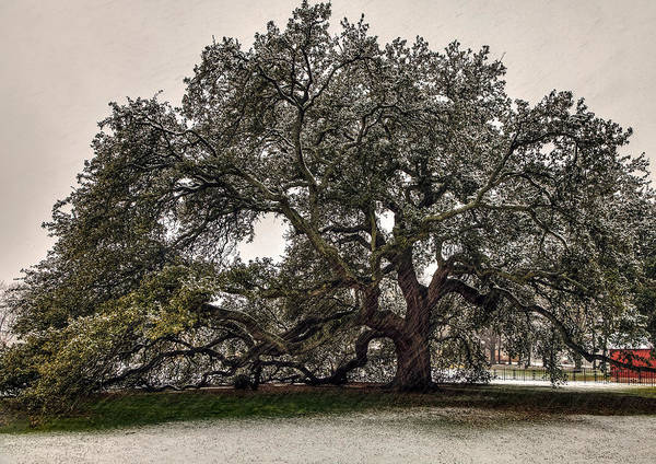 Photograph - Snowfall On Emancipation Oak Tree by Jerry Gammon