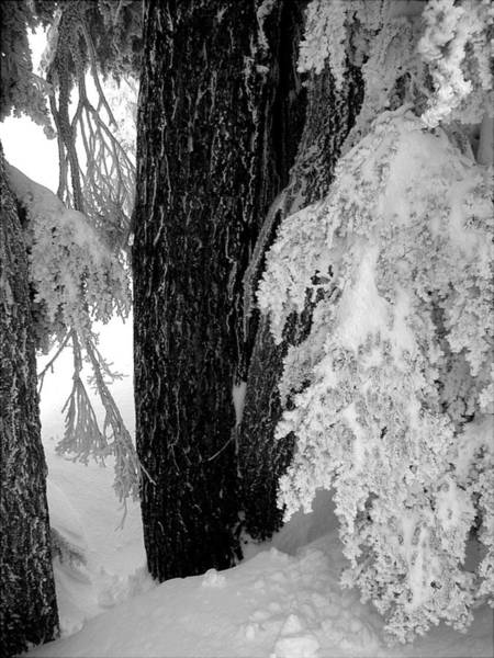 Wall Art - Photograph - Snowtrees  by Mark Stevenson