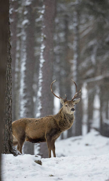 Photograph - Snowy Antlers by Peter Walkden