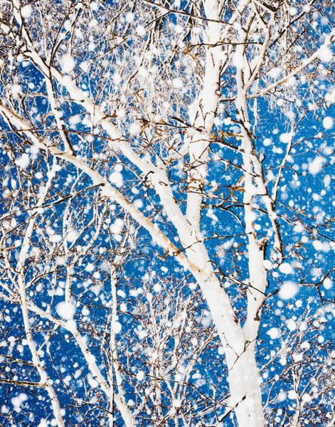 Wall Art - Photograph - Snowy Birch by Debi Bishop