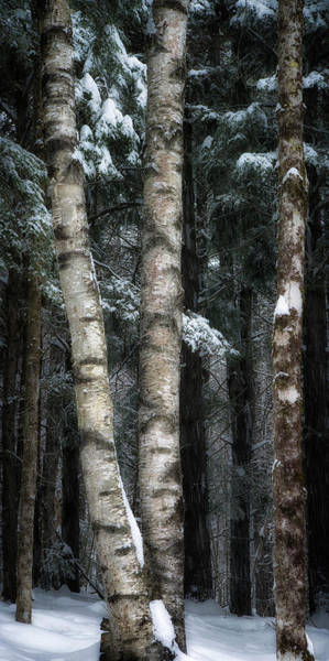 Photograph - Snowy Birches by Darylann Leonard Photography