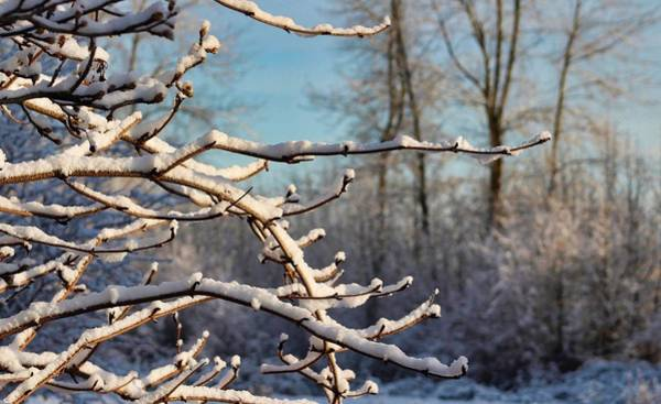 Photograph - Snowy Branches by Brian Eberly