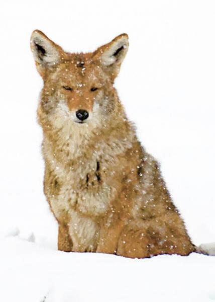 Snowy Coyote Art Print
