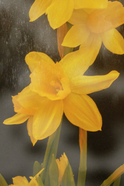 Wall Art - Photograph - Snowy Daffodil by Nancy TeWinkel Lauren
