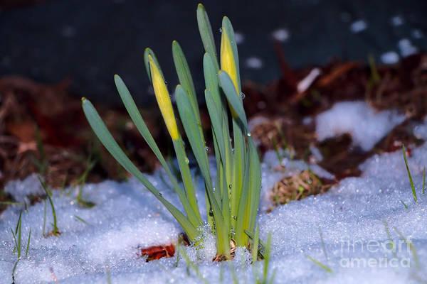 Dafodil Photograph - Snowy Daffodils by Elizabeth Dow
