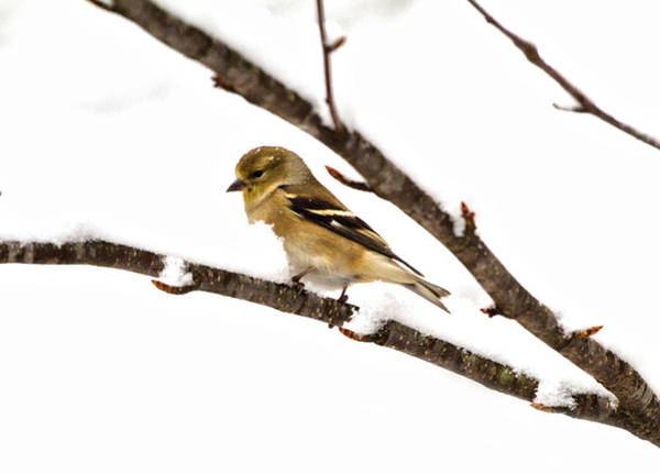 Photograph - Snowy Day Goldfinch by Betty Pauwels