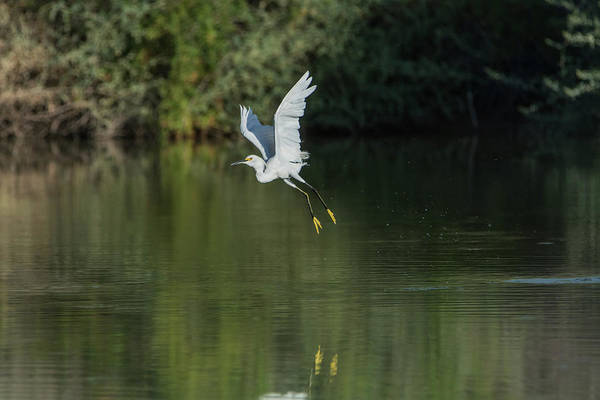 Photograph - Snowy Egret 080917-4292-1 by Tam Ryan