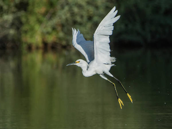 Photograph - Snowy Egret 080917-4292-1cr by Tam Ryan