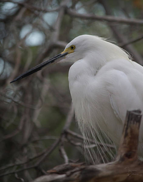Photograph - Snowy Egret 0950 by Teresa Wilson