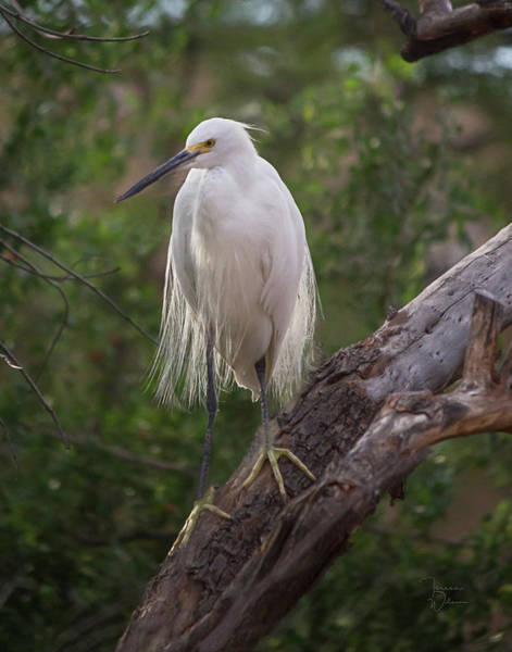 Photograph - Snowy Egret 0978 by Teresa Wilson