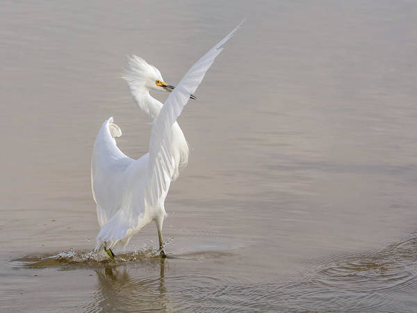 Photograph - Snowy Egret 1230-111317-2cr by Tam Ryan