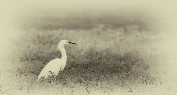 Photograph - Snowy Egret 2094-073118-2cr by Tam Ryan