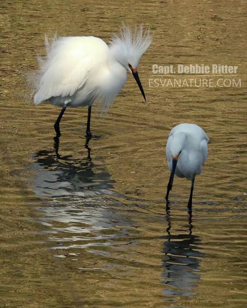 Photograph - Snowy Egret 2423 by Captain Debbie Ritter
