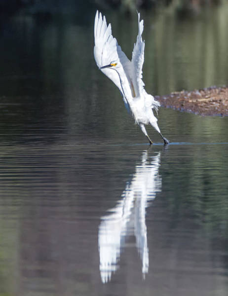Photograph - Snowy Egret 4289-080917-2cr by Tam Ryan