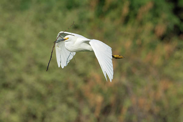 Photograph - Snowy Egret 4786-091017-1 by Tam Ryan