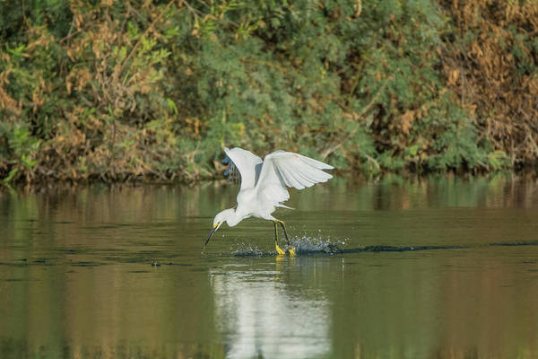 Photograph - Snowy Egret 4830-091917-1 by Tam Ryan