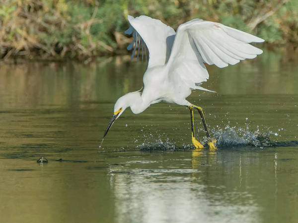 Photograph - Snowy Egret 4830-091917-1cr by Tam Ryan