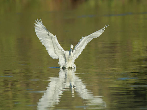 Photograph - Snowy Egret 5601-092217-1cr by Tam Ryan