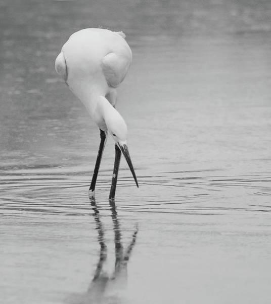 Photograph - Snowy Egret 5772-112717-2cr-bw by Tam Ryan