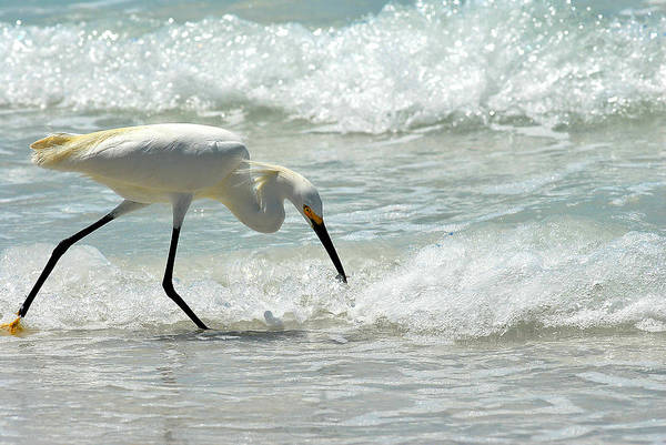 Photograph - Snowy Egret 6265 Lido Beach by Steve Somerville