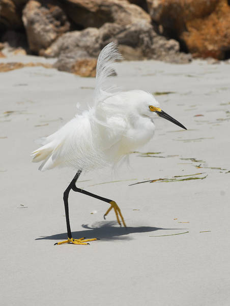 Photograph - Snowy Egret 6429 Windy by Steve Somerville