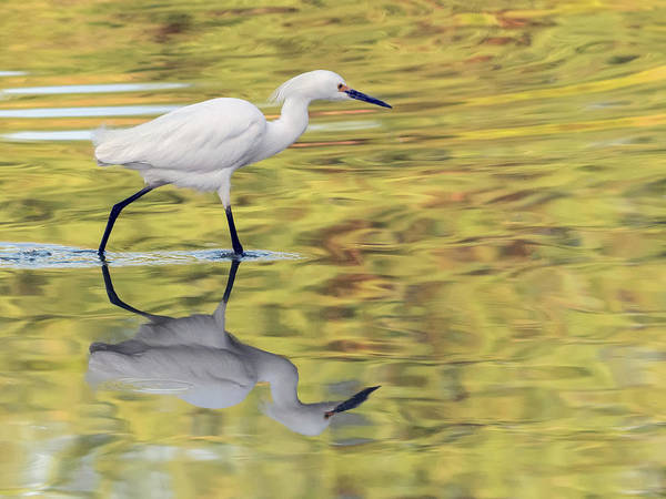 Photograph - Snowy Egret 8846-050318-1cr by Tam Ryan