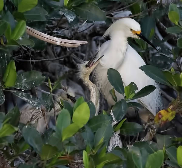 Photograph - Snowy Egret Adult And Chicks by Richard Goldman