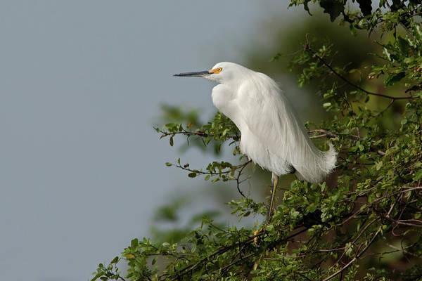 Photograph - Snowy Egret by Aivar Mikko