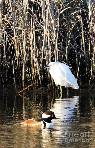 Photograph - Snowy Egret And A Guy From The Hood by Jennifer Robin