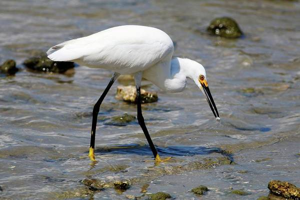 Photograph - Snowy Egret And Appetizer  by Carol Montoya