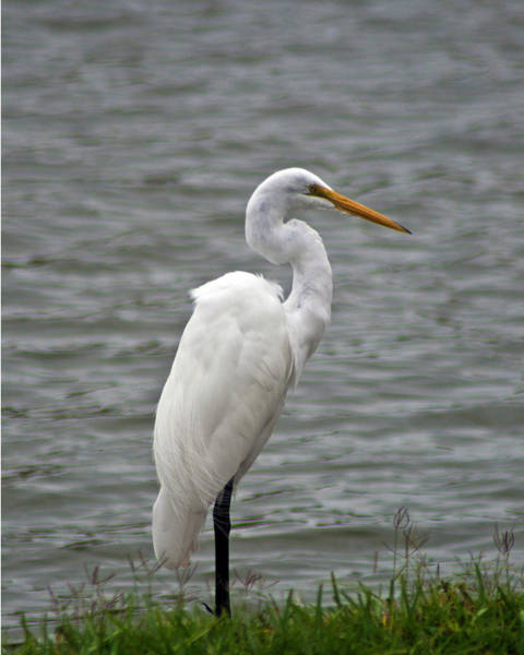 Photograph - Snowy Egret by Bill Barber