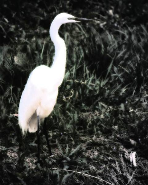 Photograph - Snowy Egret Black And White by John Feiser