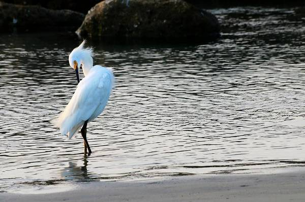 Photograph - Snowy Egret by Carol Montoya