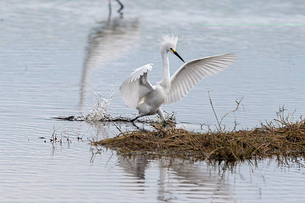 Photograph - Snowy Egret Chasing His Dinner by Dan Friend