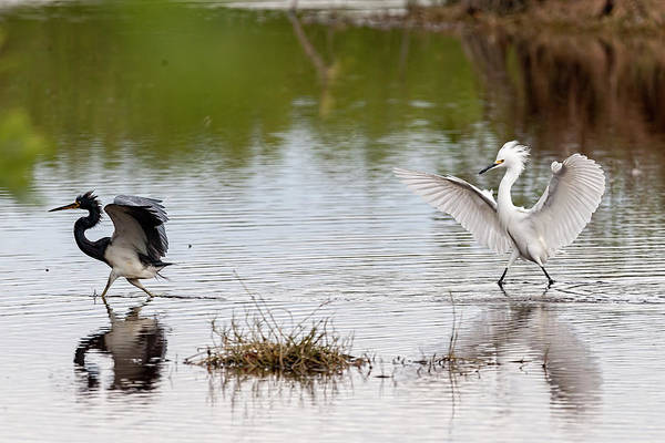 Photograph - Snowy Egret Chasing Other Bird Out Of Feeding Area by Dan Friend