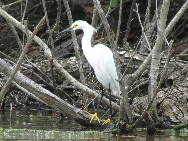 Pokes Wall Art - Photograph - Snowy Egret by Cobey Coles