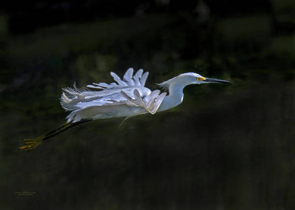 Photograph - Snowy Egret Flight by Judi Dressler
