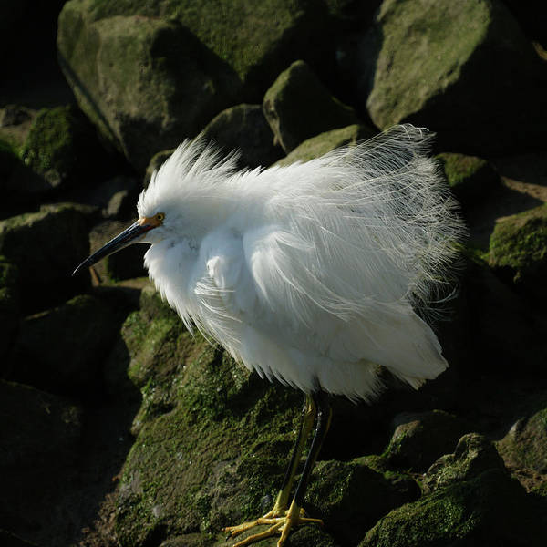 Snowy Egret Photograph - Snowy Egret Fluffy by Ernie Echols
